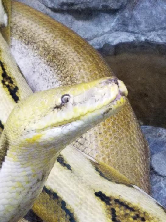 Giant Python Snakes