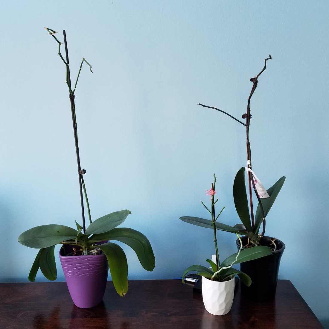 Potted Non-Blooming Orchid Plants