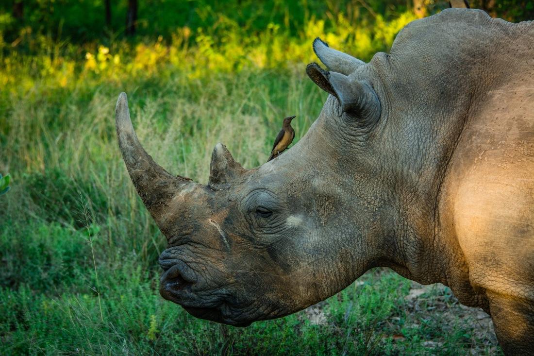 Rhino & Thrush Bird
